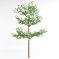 terminalia ivorensis tree 3d max