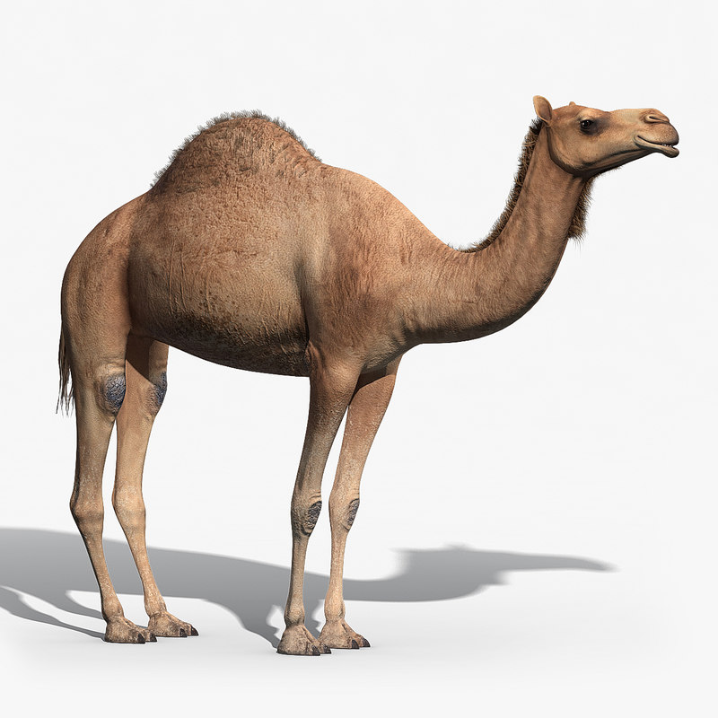 3d model camel fur