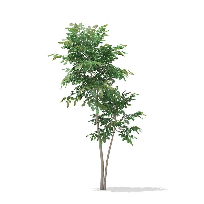 max pedunculate oak quercus