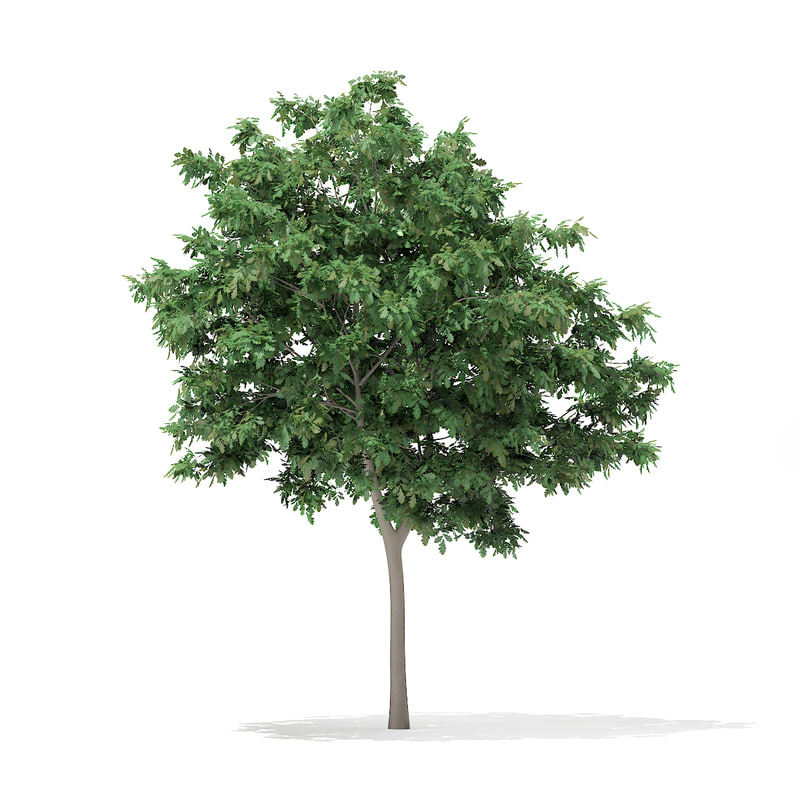 pedunculate oak quercus robur 3d model