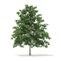 Pedunculate Oak (Quercus Robur) 6.9m