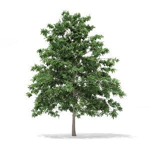 3d pedunculate oak quercus robur