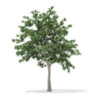 pedunculate oak quercus robur 3d max
