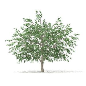 pedunculate oak quercus robur max