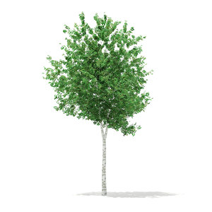 max silver birch tree betula