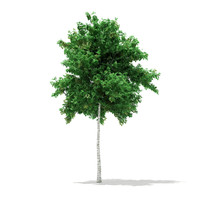 3d silver birch tree betula