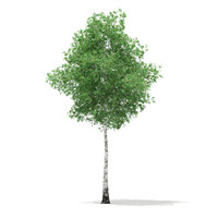 3d model of silver birch tree betula