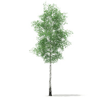 3d model silver birch tree betula