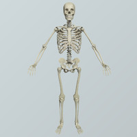 Realistic Human Skeletal System