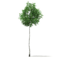 silver birch tree betula 3d model