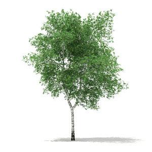 silver birch betula pendula 3d obj