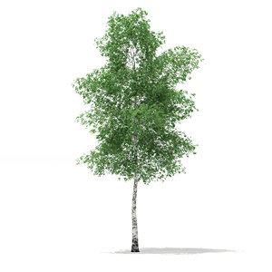 3d c4d silver birch tree betula