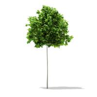 Sycamore Maple (Acer pseudoplatanus) 2.6m
