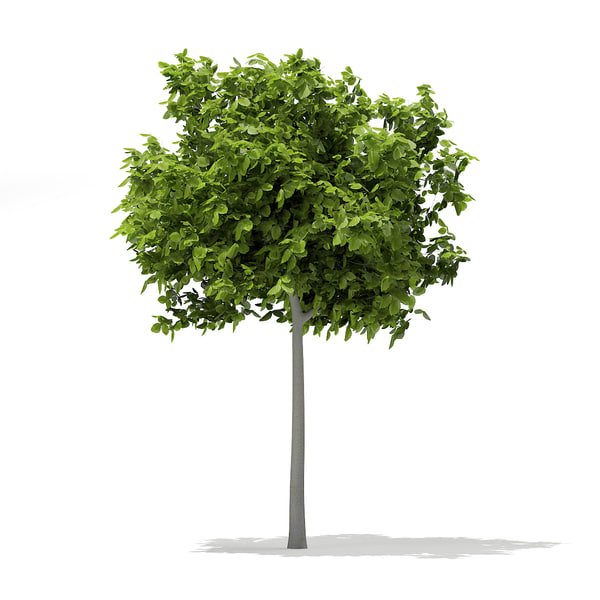 3d model european beech fagus sylvatica