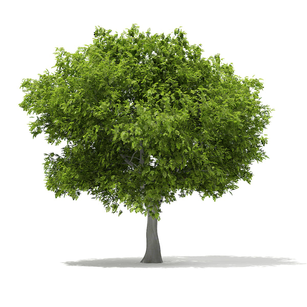 european beech fagus sylvatica 3d model