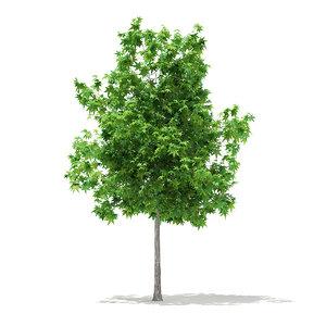 3d model of sweetgum tree liquidambar styraciflua