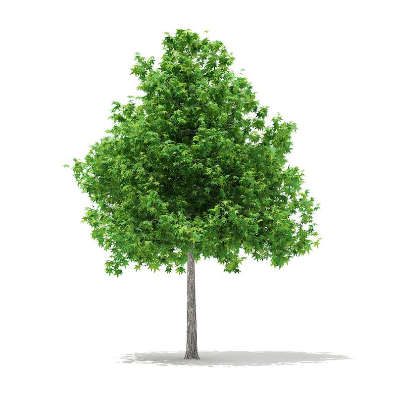 max sweetgum tree liquidambar styraciflua