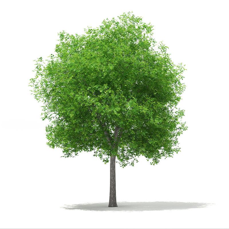 3d model sweetgum tree liquidambar styraciflua