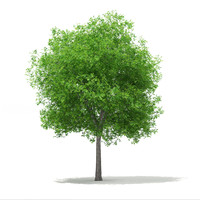 3d model sweetgum tree liquidambar styraciflua