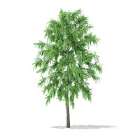 3d white willow tree salix