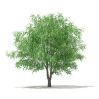 white willow salix alba 3d c4d