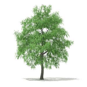 3d white willow tree salix model