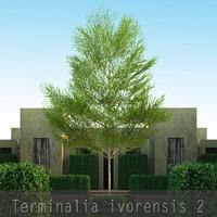 4 Terminalia ivorensis