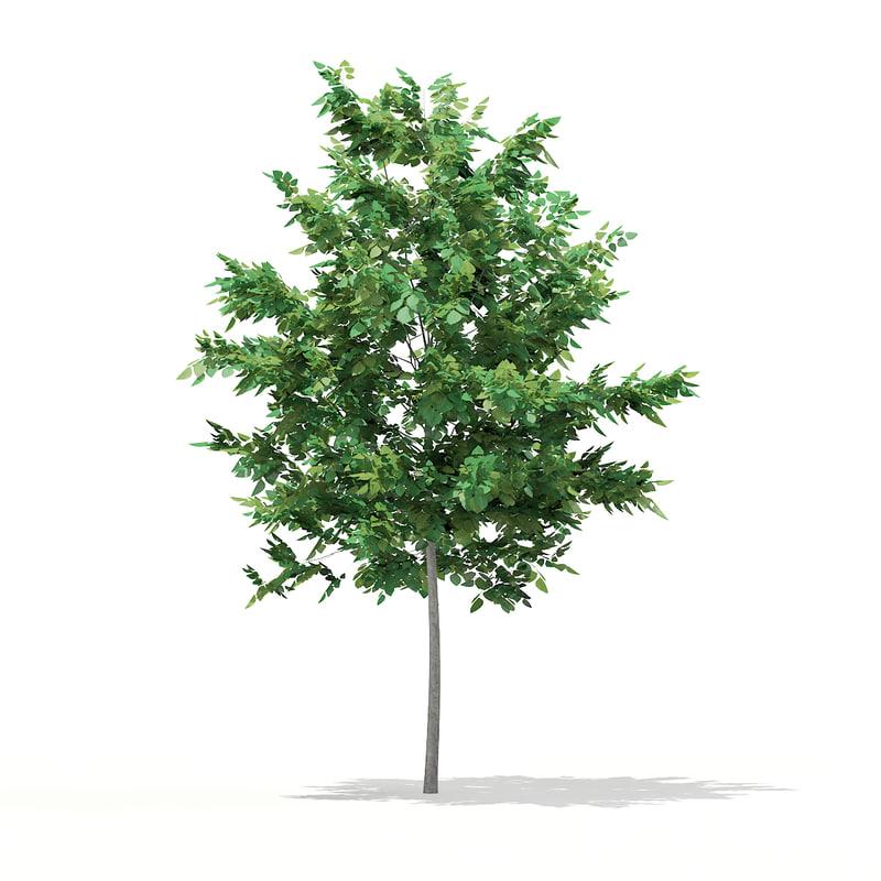 bigtooth aspen populus grandidentata 3d model