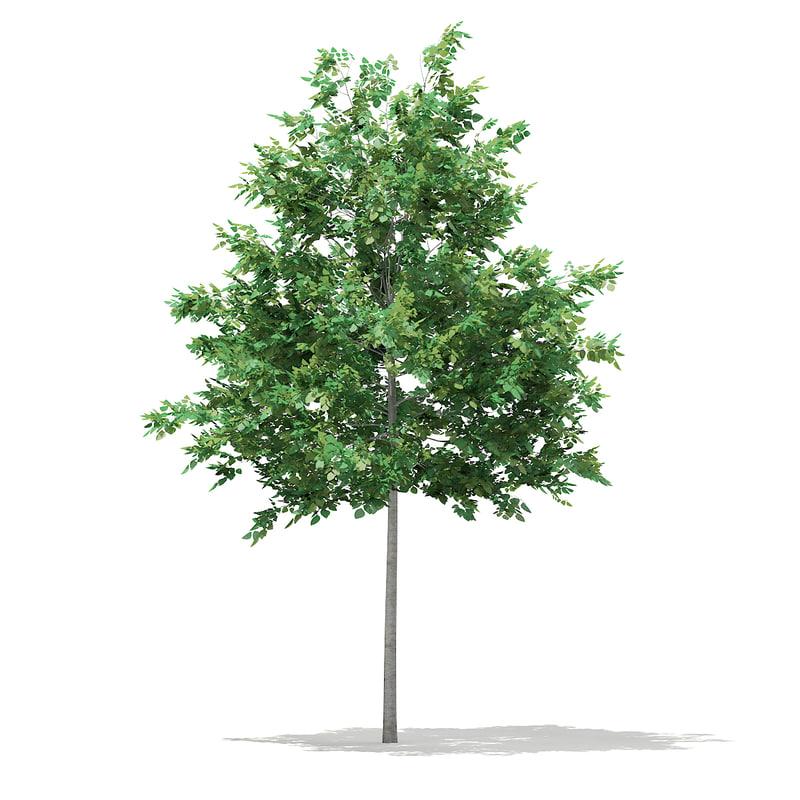 3d bigtooth aspen tree populus