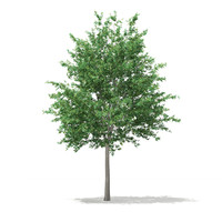 c4d bigtooth aspen tree populus