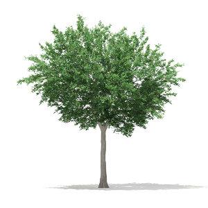 bigtooth aspen tree populus 3d max