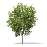 european rowan tree sorbus 3d c4d