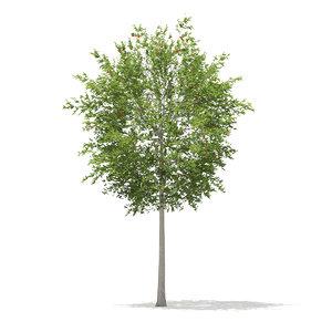 3d model european rowan tree sorbus