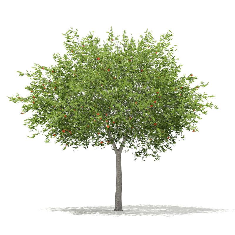 european rowan tree sorbus 3d max