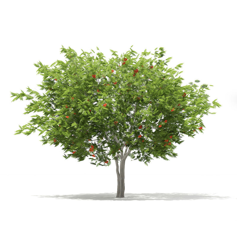 max european rowan tree sorbus