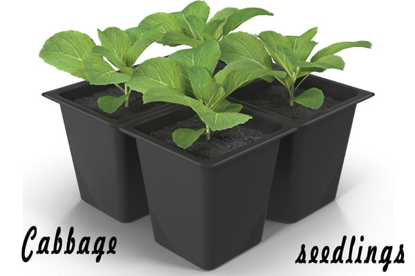 3d model of cabbage seedlings
