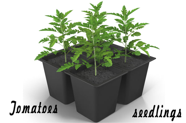 3d tomatoes seedlings model