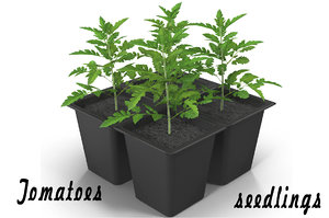 3d tomatoes seedlings model