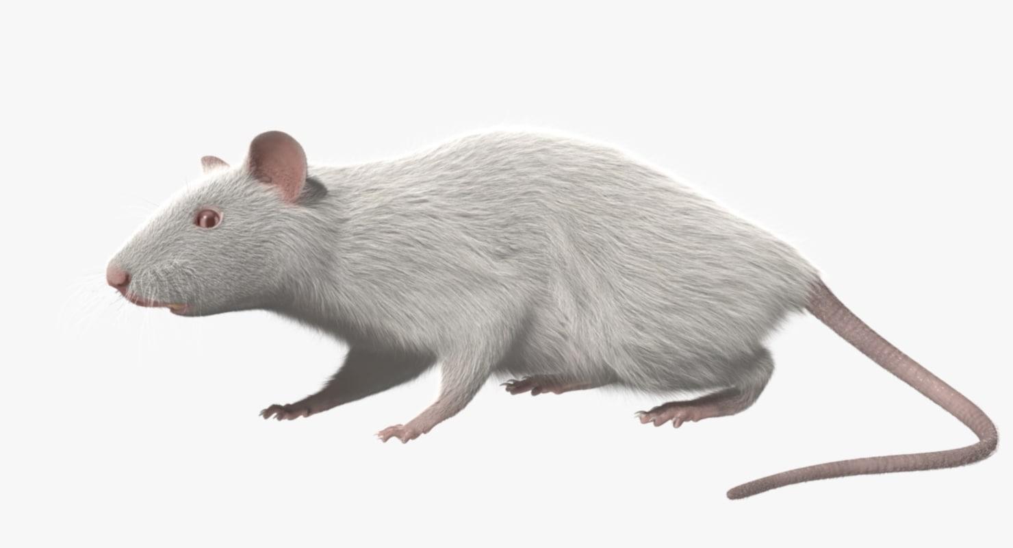 3d model white rat