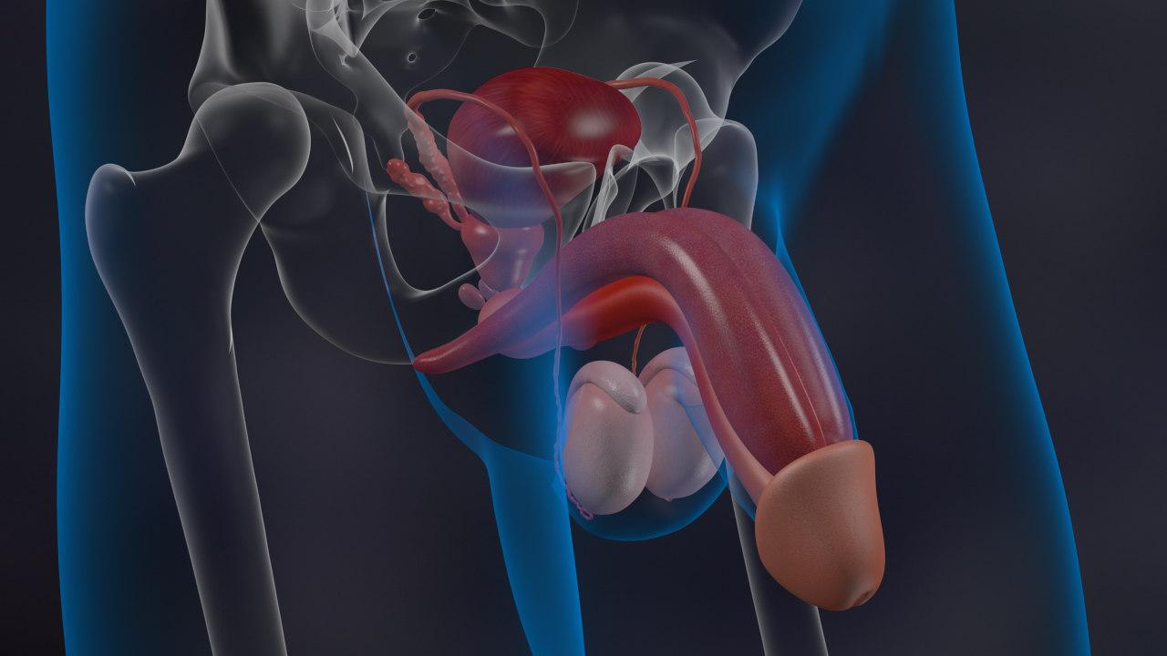 human male reproductive 3d model