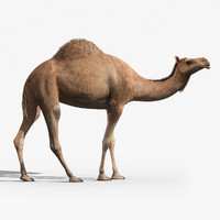 Camel(RIGGED)