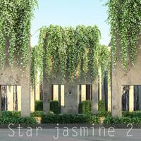 Star jasmine 2