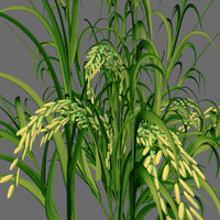 immature rice panicle