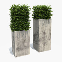 Boxwood Shrubs in Column Pots