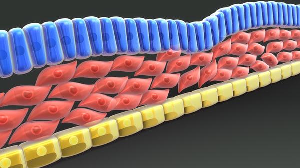 3d model of definitive endoderm mesoderm