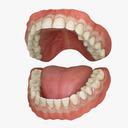 Classic Human Dentition