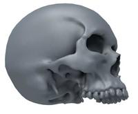 Skull jawless