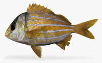 3d panamic porkfish model