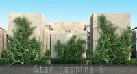 Star jasmine 6