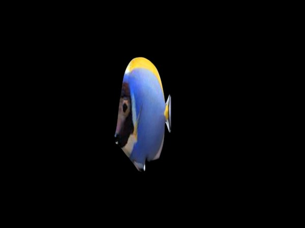 powder blue tang 3d max